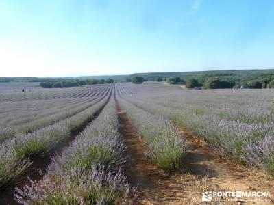 Campos Lavanda Brihuega-Provenza Española; fin de semana turismo madrid iniciacion senderismo